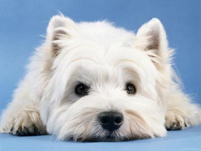 https://www.kuchniapupila.pl/files/1062482281/west_highland_white_terrier1.jpg